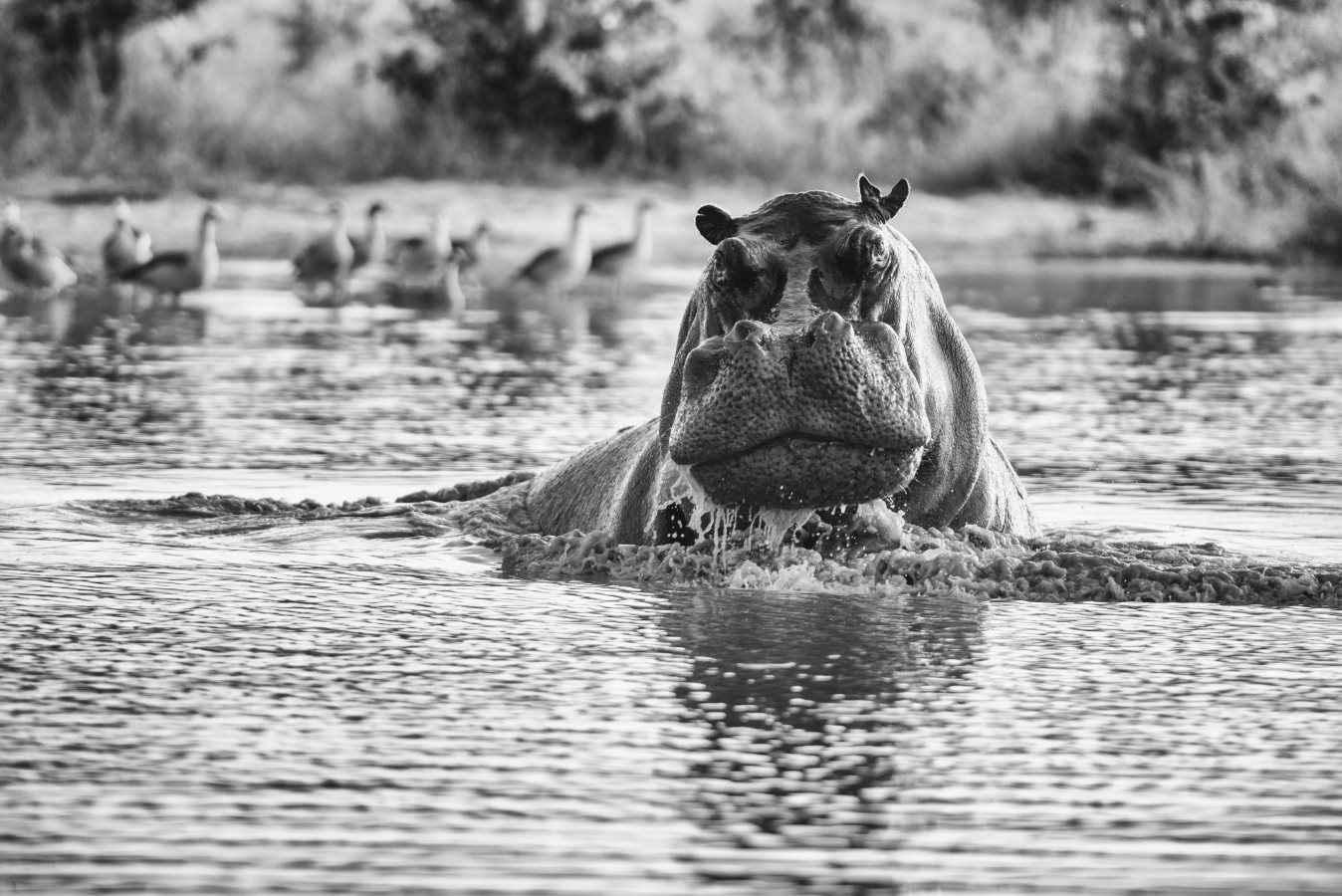 Kubu Bull by  Xtina Parks - Masterpiece Online