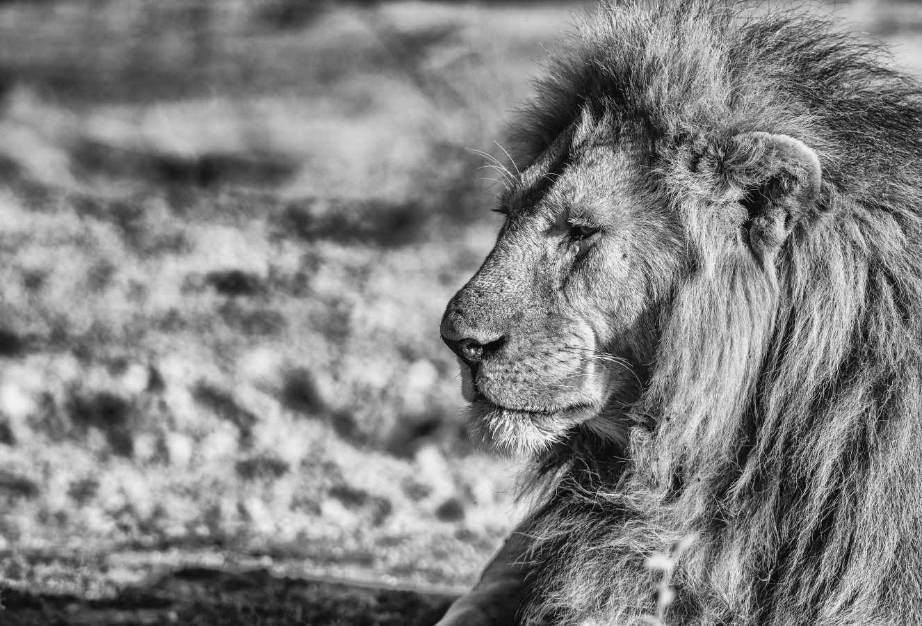 King of Ndutu by  Xtina Parks - Masterpiece Online