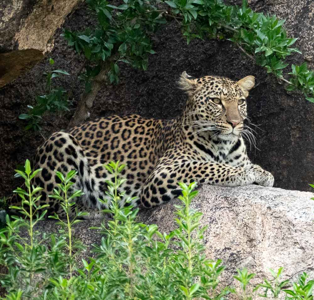 Mama Leopard by  David Rintoul - Masterpiece Online