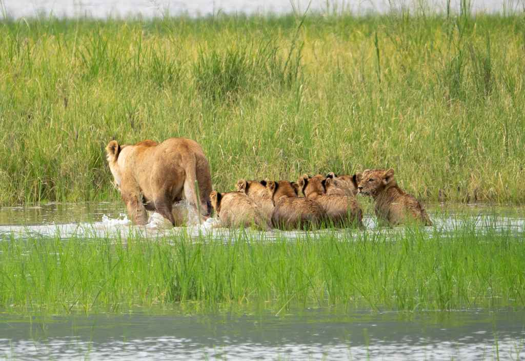Lion Family Crossing