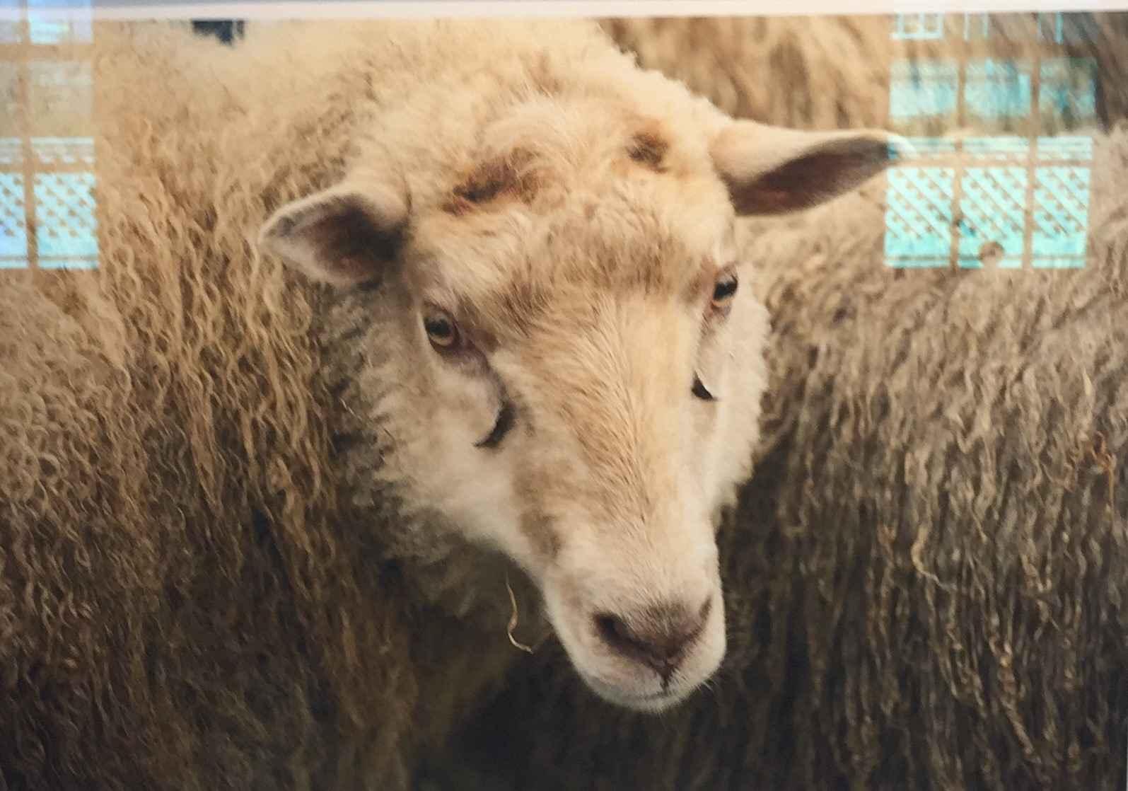 Sheep At the Fair by  Joann Frechette - Masterpiece Online