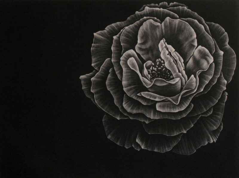 Camellia by  Julie Niskanen - Masterpiece Online