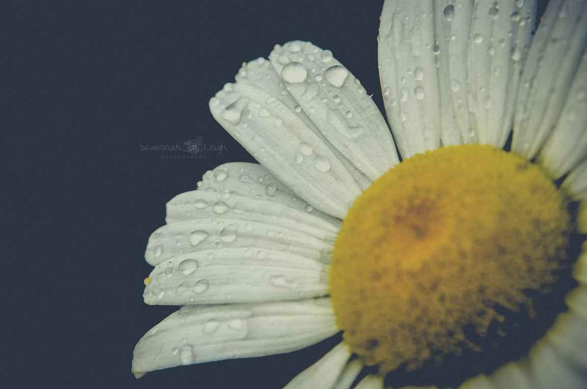 Canadian Daisy – Limi... by  Savannah Leigh - Masterpiece Online