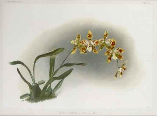Reichenbachia: Odonto... by  H.G. Moon (1857-1905) - Masterpiece Online