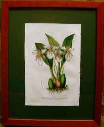Odontoglossum Ehrenbe... by  J. Linden - Masterpiece Online