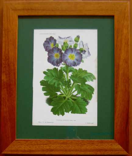 Primula Sinensis by  J. Linden - Masterpiece Online