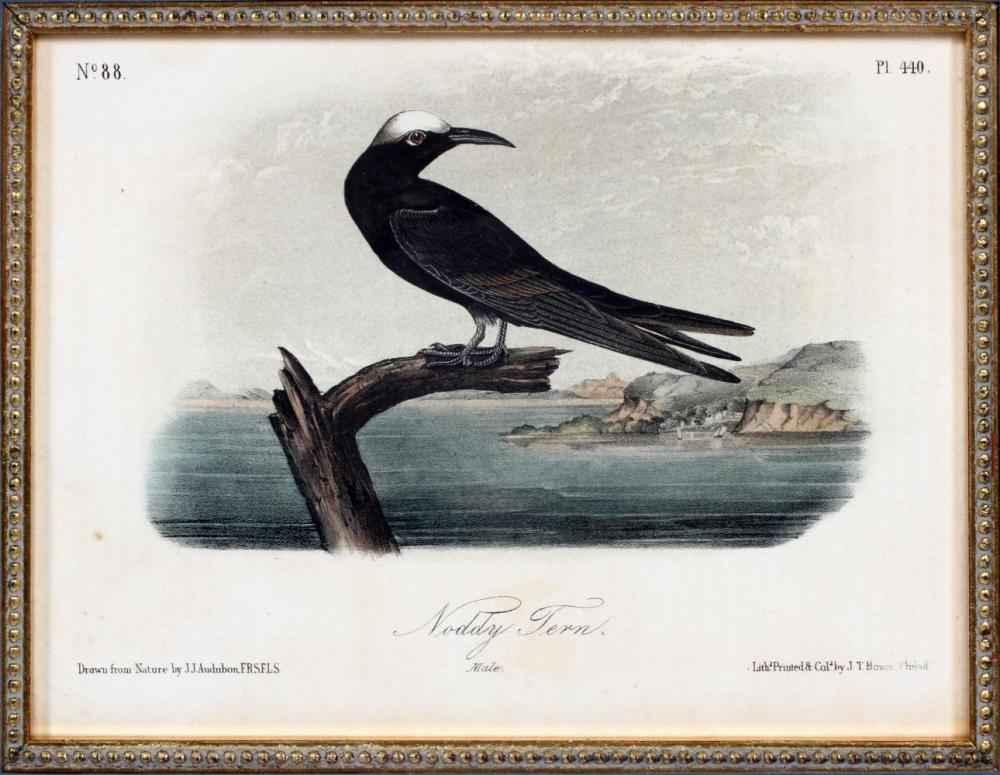 Noddy Tern by  J.J. Audubon - Masterpiece Online