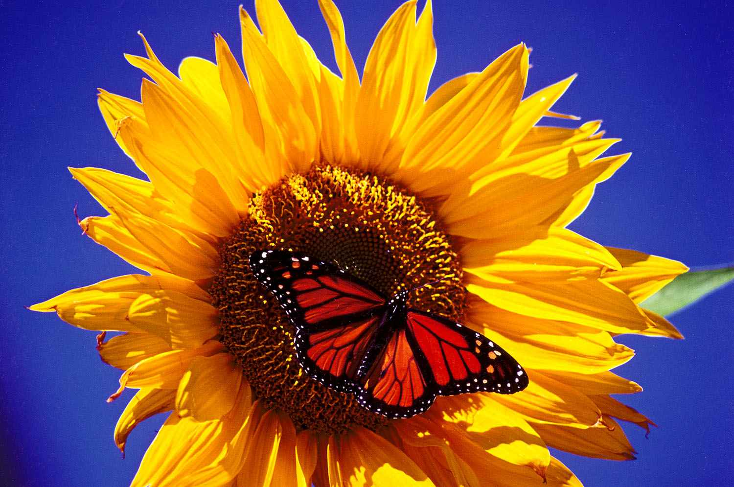 Sunflower and Monarch... by  Alison Shaw - Masterpiece Online