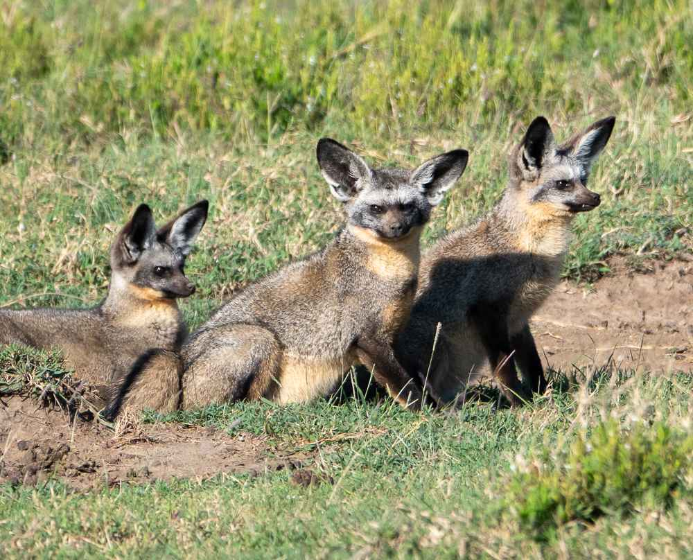 Bat-Eared Foxes by  David Rintoul - Masterpiece Online