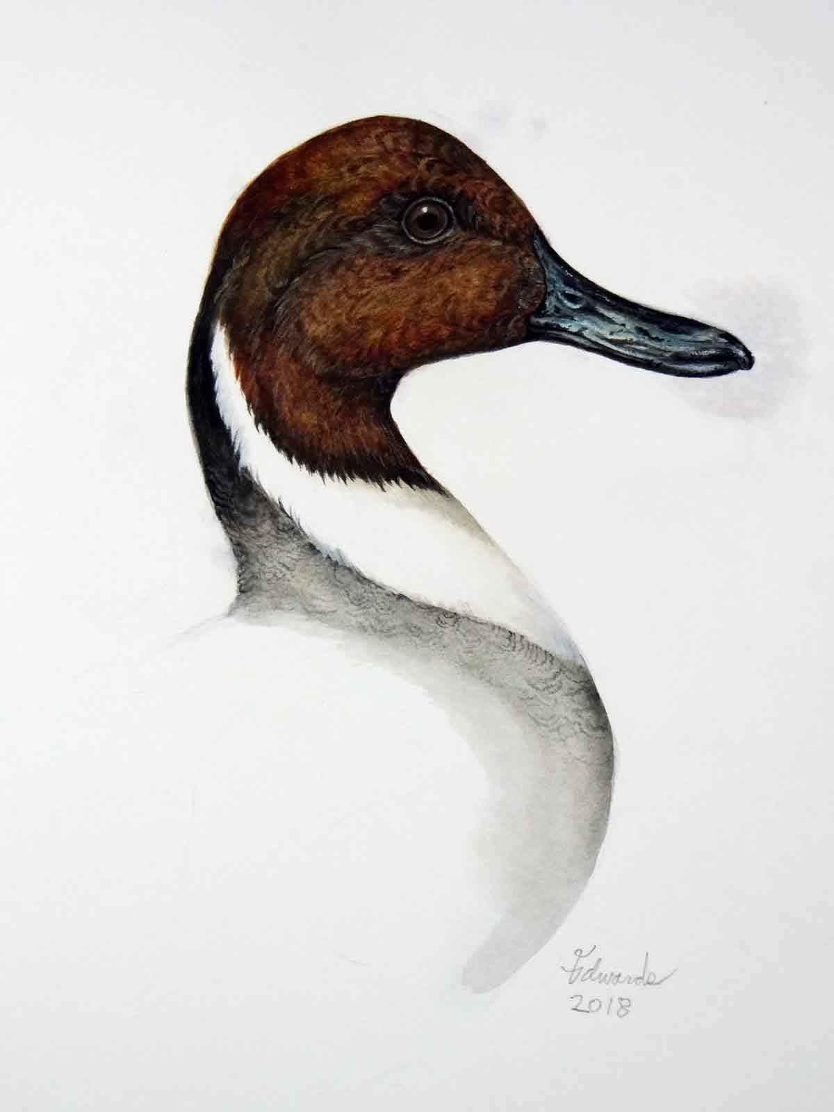 Pintail Duck  by  Wallace Edwards